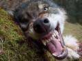 В Запорожской области в туше убитого волка обнаружен возбудитель трихинеллеза