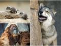 Животные недели: Шляпка для орангутана, дурашливые волки и луговые собачки