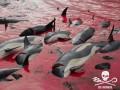 На Фарерах бойня дельфинов попала на видео