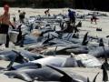 В Новой Зеландии на берег выбросились более 400 китов