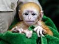 Животные недели: Новорожденный лангур и бой жеребцов (фото)