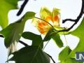 В Ужгороде зацвело тюльпанное дерево