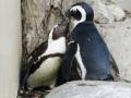 В Торонто разлучат пару пингвинов - геев