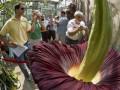 Аморфофаллус титанический. В Бельгии расцвел самый большой и самый вонючий цветок в мире