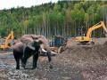Сбежавший слон атаковал копателей янтаря - пограничники