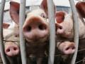 Госветфитослужба запретила вывоз свинины из Запорожской области