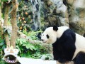 Чудо: В зоопарке Гонконга впервые за 10 лет начали размножаться панды