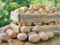 Украина продолжает импортировать рекордное количество российской картошки