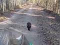 В Чернобыле енотовидная собака прогоняет из заповедника автомобилистов