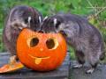 Животные недели: еноты, Хэллоуин и новорожденный дельфиненок