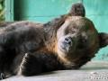 В Санкт-Петербурге умерла старейшая в мире бурая медведица
