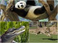 Животные недели: Панда в гамаке, летящий гепард и молоденький крокодильчик