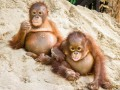 Приматы на отдыхе: умильные ФОТО детенышей орангутанга