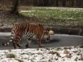 Смешного тигра на тонком льду засняли на видео