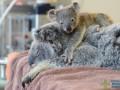 Пользователей сети растрогал детеныш коалы, обнимающий больную маму