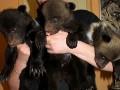 В Харьковском зоопарке показали новорожденных медвежат