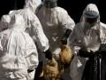 В Канаде из-за вируса  птичьего гриппа уничтожат более 250 тысяч птиц