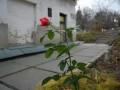 В саду Киево-Печерской Лавры расцвела роза