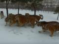 Растолстевшие амурские тигры охотились за беспилотником в Китае