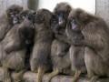Обезьян, которых сириец пытался незаконно ввезти в Украину, отдадут в Киевский зоопарк