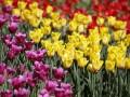 В Киеве появятся более 700 тысяч тюльпанов