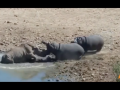В Африке бегемот утопил носорога в борьбе за воду