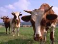 В Чили один удар молнии убил стадо коров