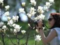 В Киеве цветут магнолии (ФОТОГАЛЕРЕЯ)
