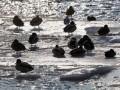 В Латвии более 500 человек уносит в Рижский залив на отколовшихся льдинах