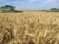 В Индии ожидают рекордный урожай пшеницы в 2013 году