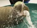 Британец предложил бесплатное жилье тому, кто согласится изображать для него домашнего моржа