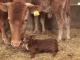 В Южной Корее пес подружился с коровой