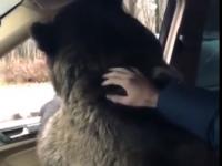 Мажор усадил медведя в Mercedes и повез