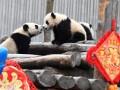 Маленькие панды отметили китайский Новый год