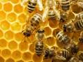 Госпотребинспекция объяснила, почему в Украине гибнут пчелы