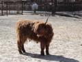 Львовский зоопарк подарил Киевскому шотландских коров