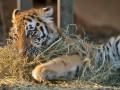 Животные недели: милый тигренок и горилла Кумбука