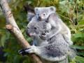 Животные недели: медвежонок, малыш суриката и детеныш коалы