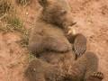 Милый, когда ленивый: Медвежонок отказывается резвиться с братьями (ФОТО)