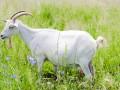 В Японии стало возможным арендовать живую козу