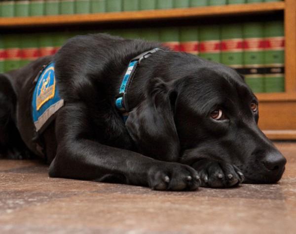 Самый гуманный суд в мире: собаки, помогающие свидетелям