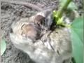 В Индии на спине у живой крысы выросла соя