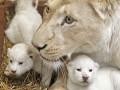 Животные недели: новорожденные белые львята и дог-великан