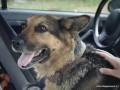 Батальон Сечь: Хозяева найденной в Песках овчарки узнали собаку по сюжету в СМИ и вернулись за ней