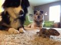 Невозможное возможно: как собаки подружились с бельчонком