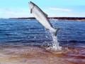 Один норвежский лосось стоит больше барреля нефти - Bloomberg