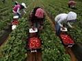 В Эстонии тонны клубники сгнили на полях из-за нехватки рабочих