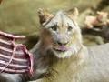 Нападения львицы в Саратовской области: стали известны подробности