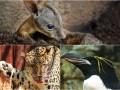 Животные недели: Киска-кривляка, крошка валлаби и пингвин с хохолком