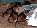 В США выбрали самую страшную крысу нью-йоркского метро